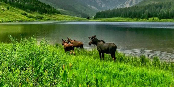 Colorado Moose Sightings