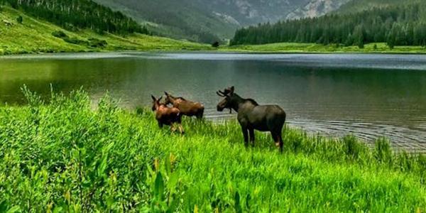 Colorado Moose Sightings