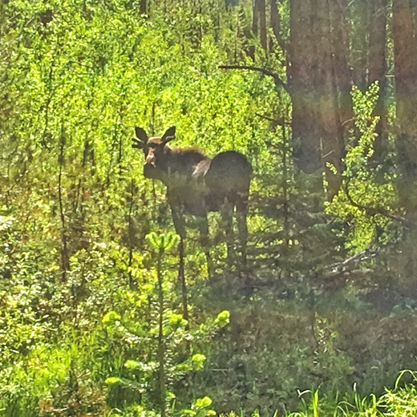 Vail moose viewing